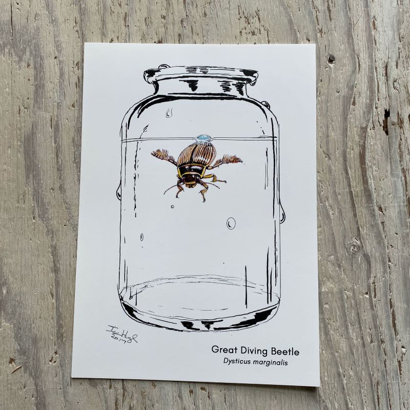 Great Diving Beetle Art Print