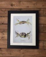 shore crab art print