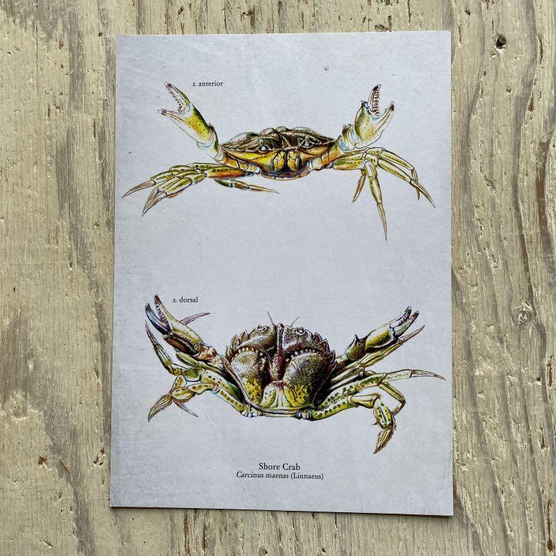 shore crab print