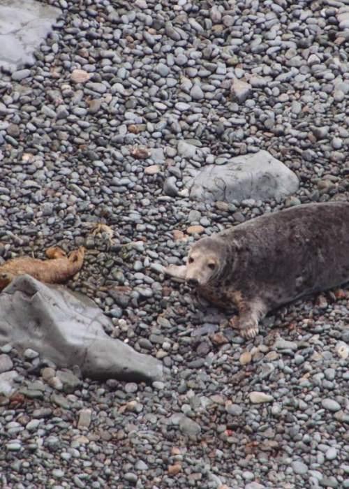 seal pup and Mum