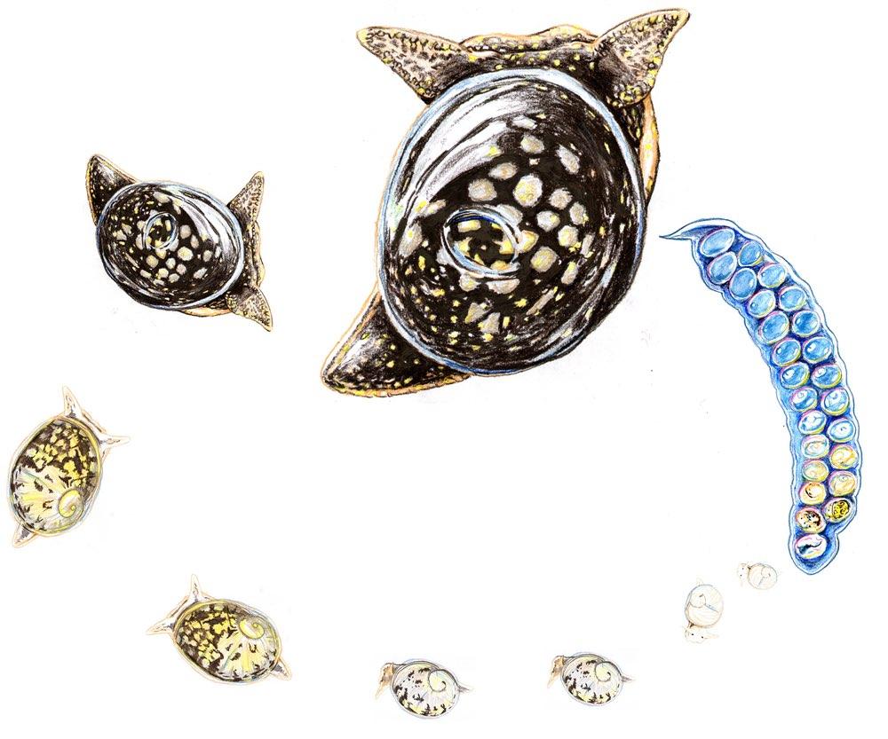 Glutinous snail