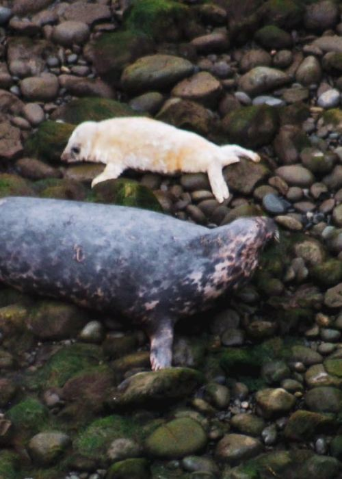celebrating seal pupping season