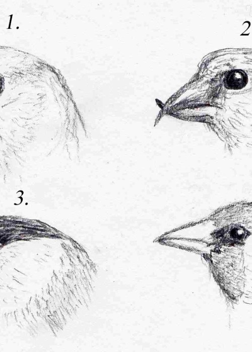 Four British Finches