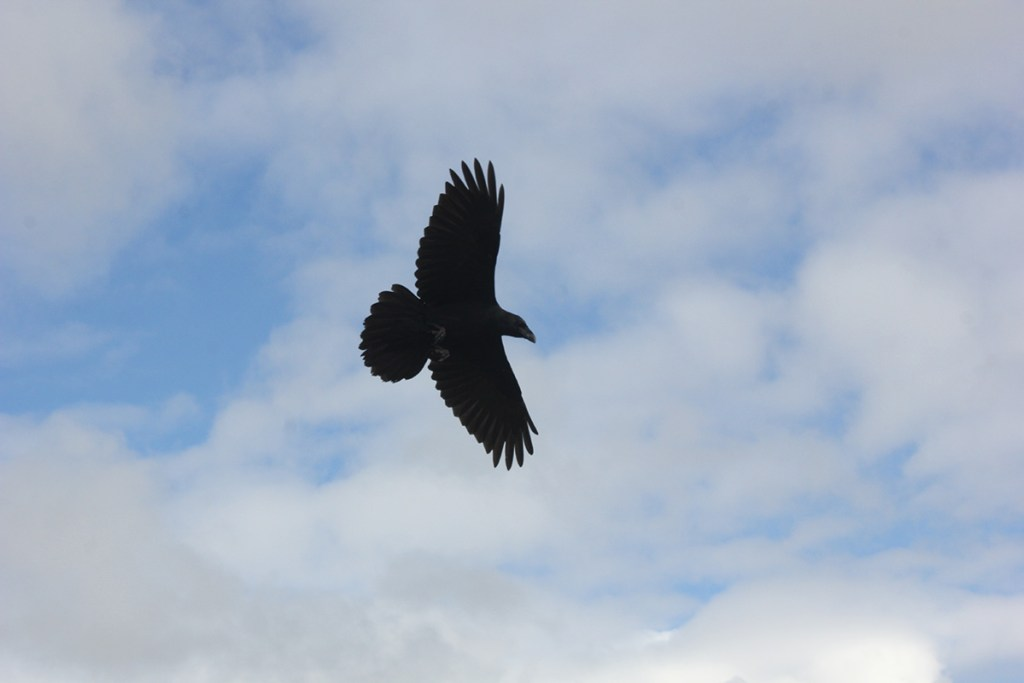 Raven - the largest of the Corvids