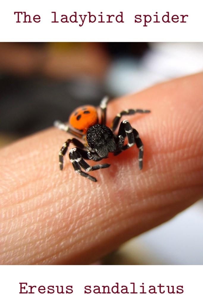 Conservation of the ladybird spider - eresus sandaliatus.