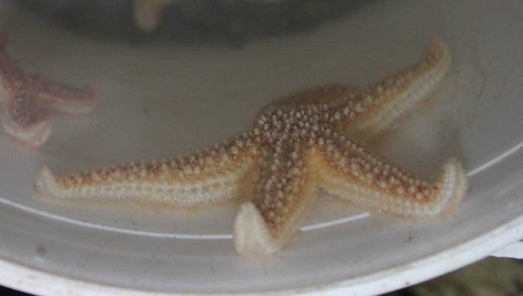echinoderms - common starfish