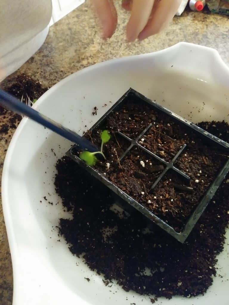 how to transplant seedlings press the seedling with a pencil life full and frugal
