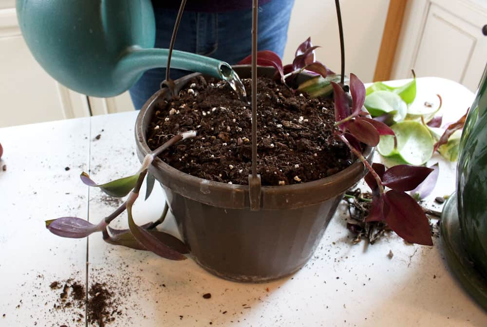 Hanging Baskets from House Plant Cuttings watered life full and frugal