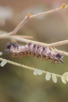 caterpillar wildlife at san pedro river