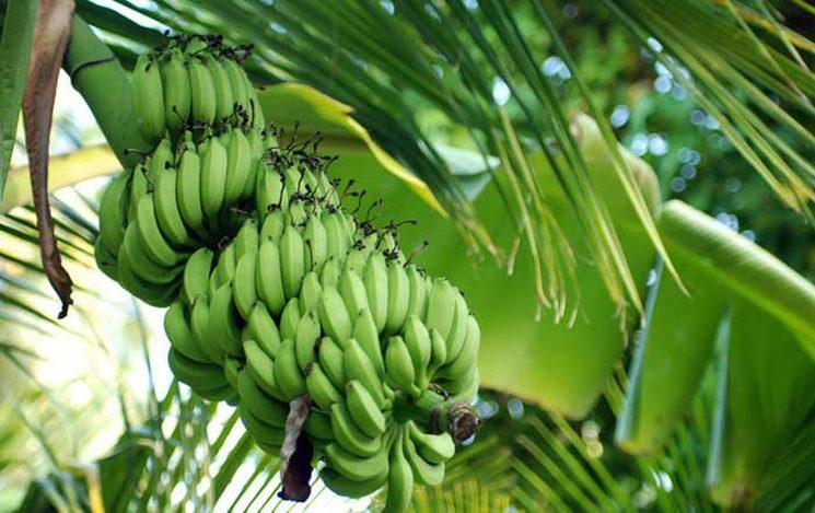 Фишки дня — 27 августа, бананы, пальмы