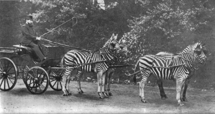 Уолтер Ротшильд, зебры, Пикадилли, Лондон