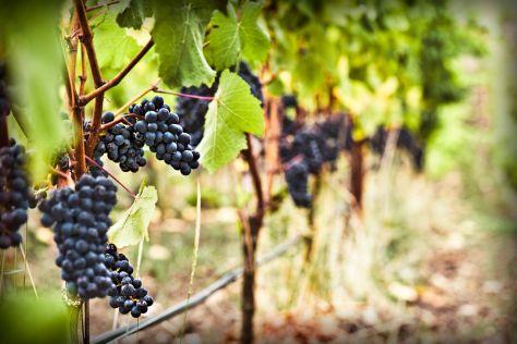 The+Vineyard