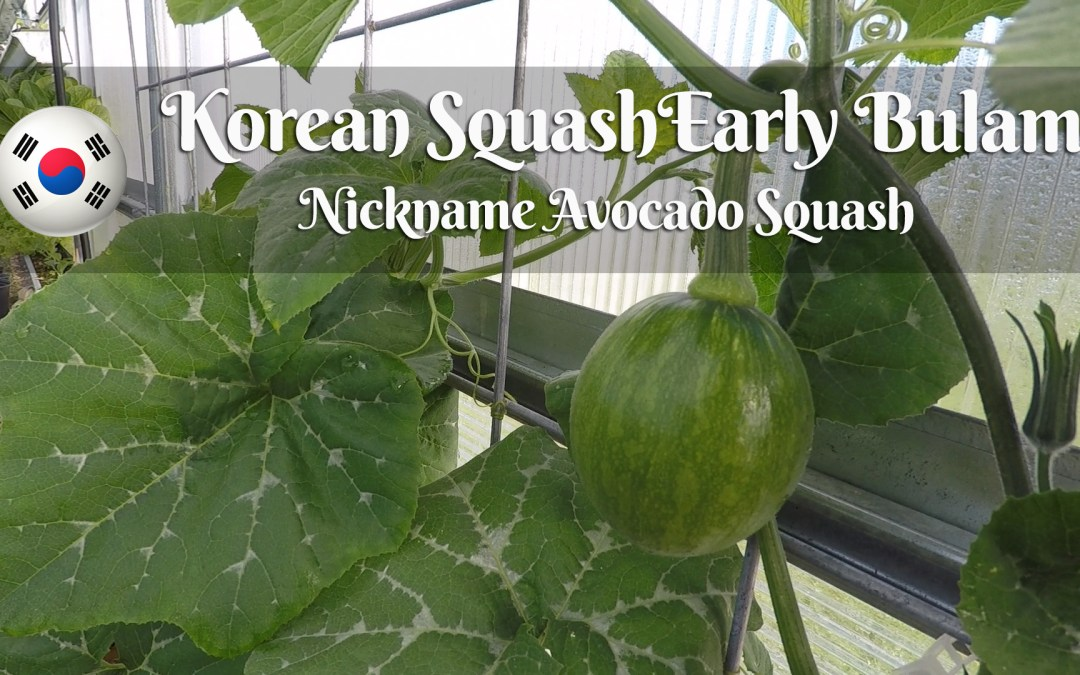Korean Squash Early Bulam