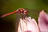 Dragonfly (2)