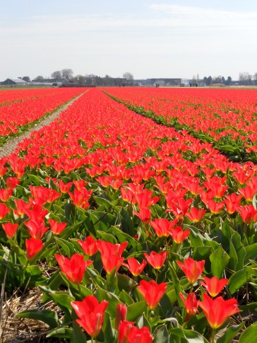 A field of red tulips in Lisse, The Netherlands
