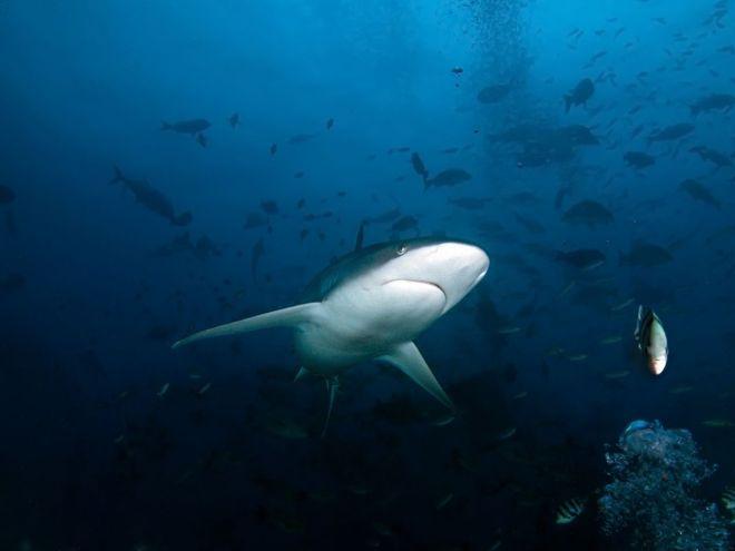 Baltapelekis pilkasis ryklys - nardymas Fidžyje