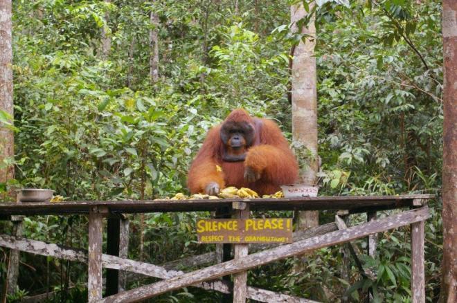 Orangutanas valgo Borneo saloje