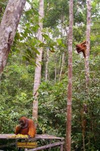 Borneo orangutanai