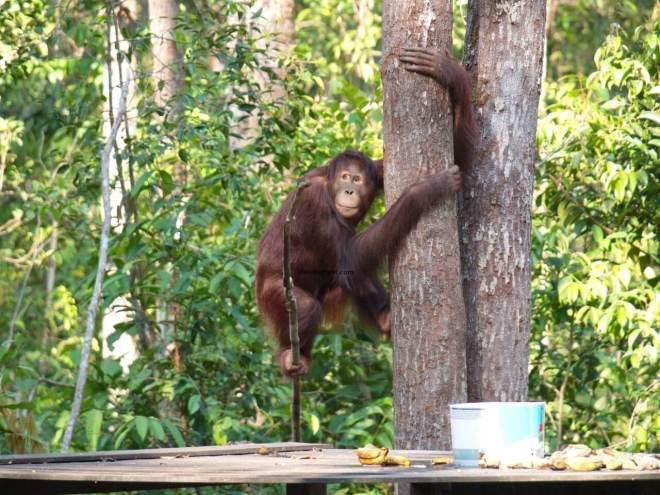 Jaunas orangutanas medyje