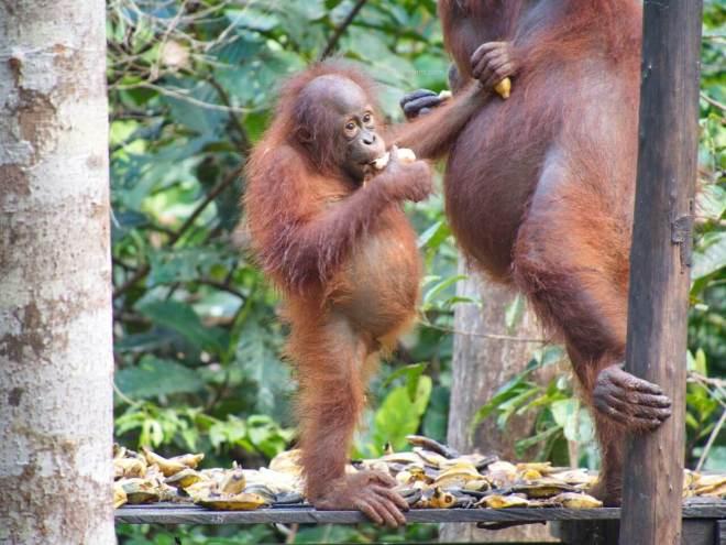 Stovintis orangutango mažylis