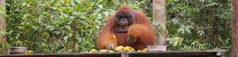 Pirmoji akistata su orangutanais Indonezijos Borneo saloje