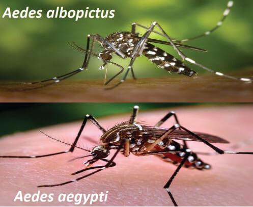Dengės karštligę virusą platinantys uodai