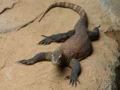 Interesting facts about Indonesia - Komodo dragon