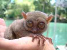 Interesting facts about Indonesia - Tarsier Pygmy