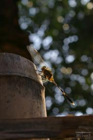 Another dragonfly in the yard
