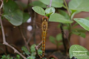 Dragonfly in the yard