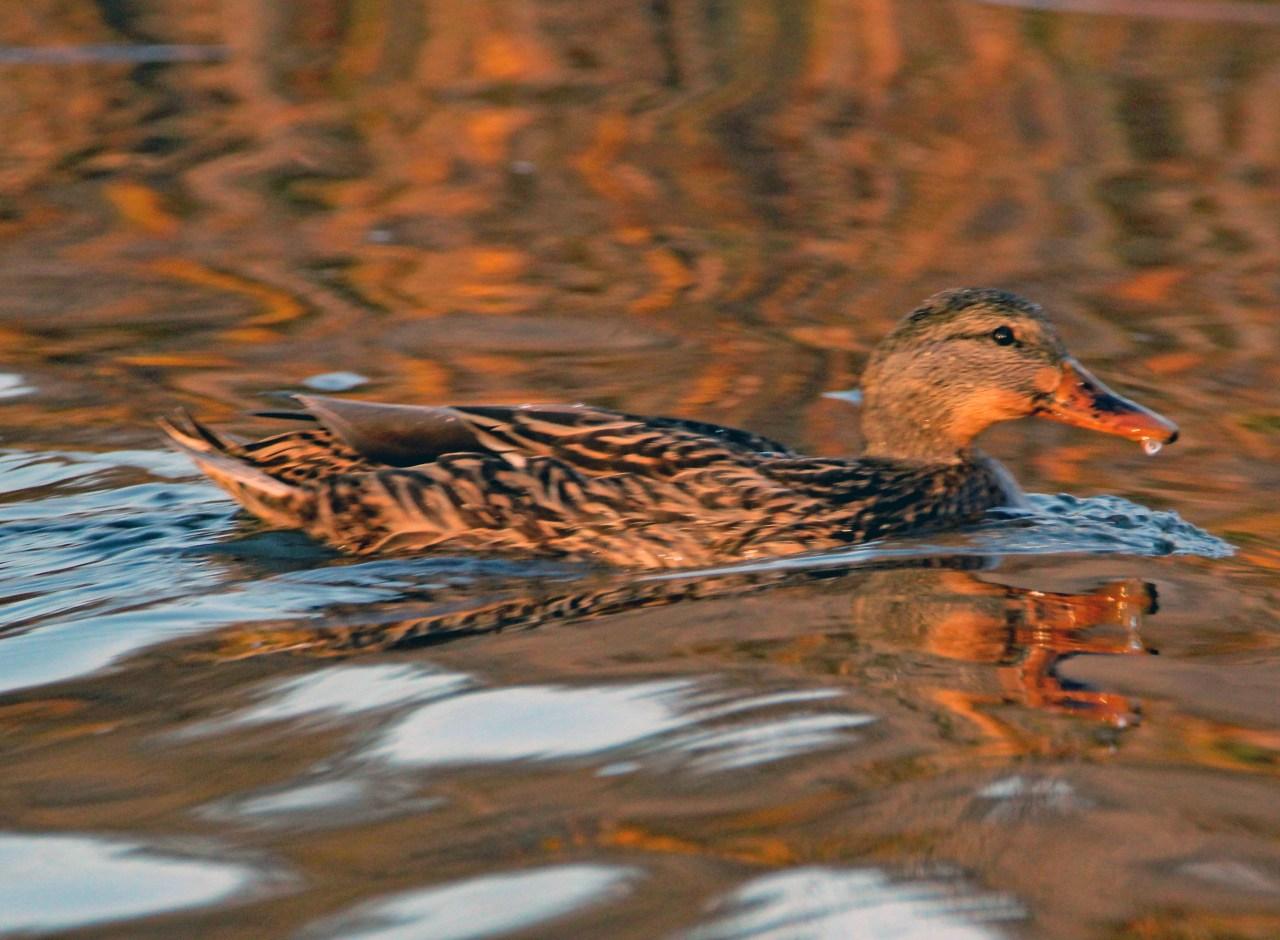 Brown duck 2