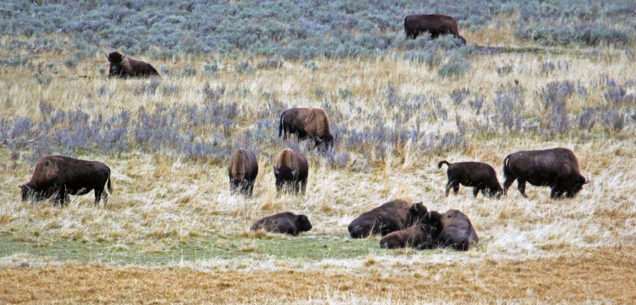 Buffalo grazing Hayden valley