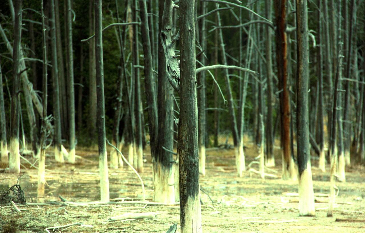 Dead trees Cistern Spring Norris geyser basin