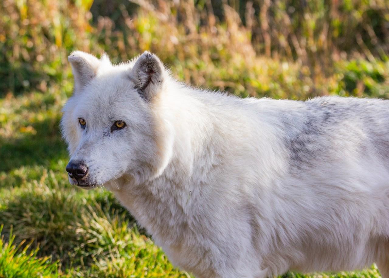 Wolf 5x7