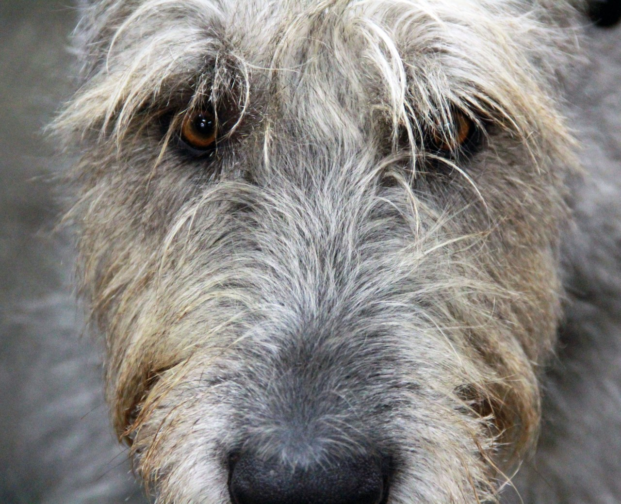 Wolfhound eyes