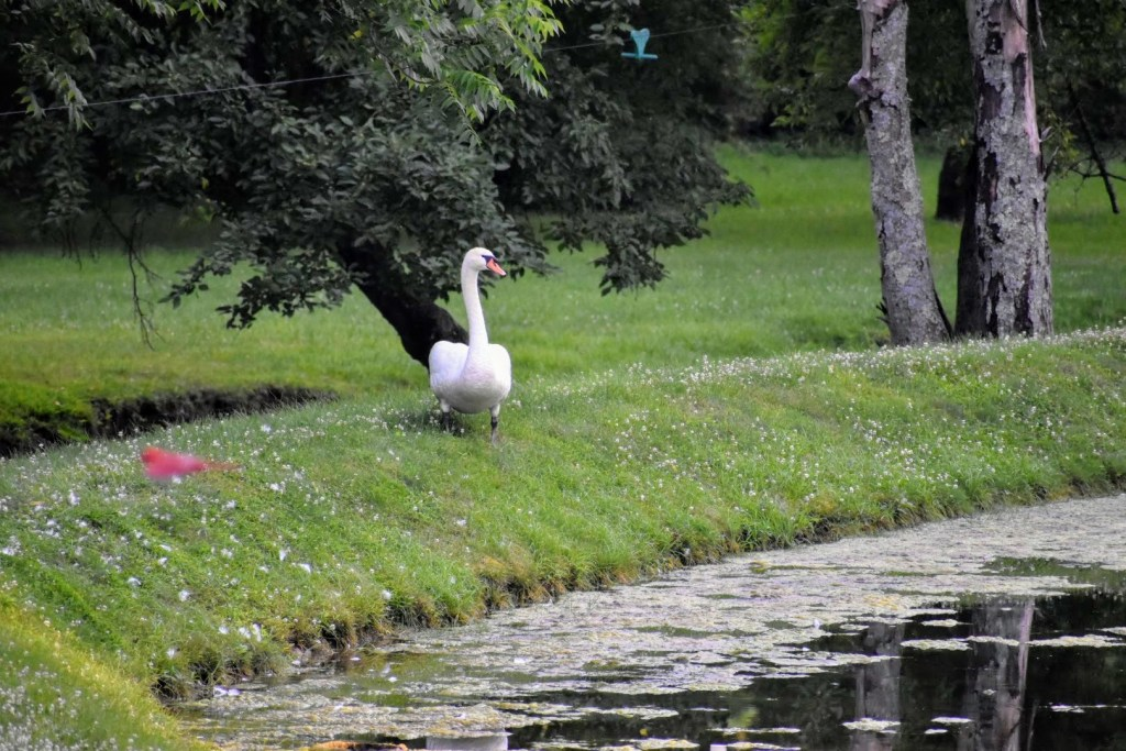 Outside with the swan by the pond