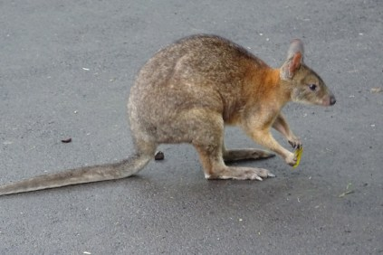 It's not a Kangaroo, but it's like one