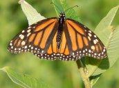 monarchbutterlfy3