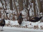 turkeys481