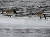 Canada geese river Fulton