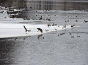 gull geese river Fulton