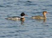 Red-breasted Mergansers Breitbeck Park