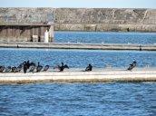 cormorant Oswego Marina
