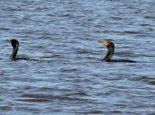 cormorant RHL