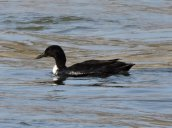 duck Oswego River Fulton