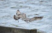 flying gulls Lake Neatahwanta