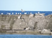 gulls breakwall Lake Ontario