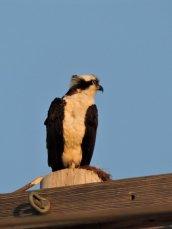 Osprey near water station Oswego