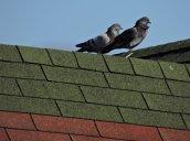 pigeons Fulton