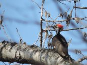 Pileated Woodpecker Granby Nature Trail